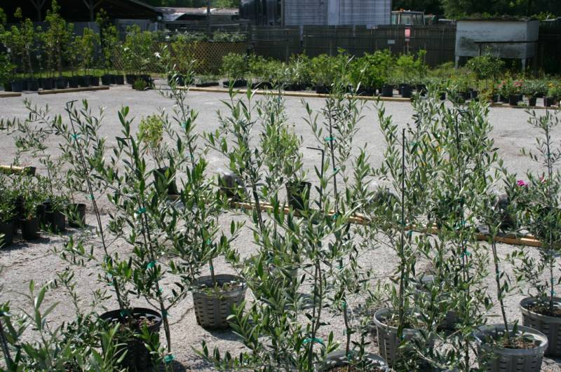 Home for Fertilizing olive trees in pots